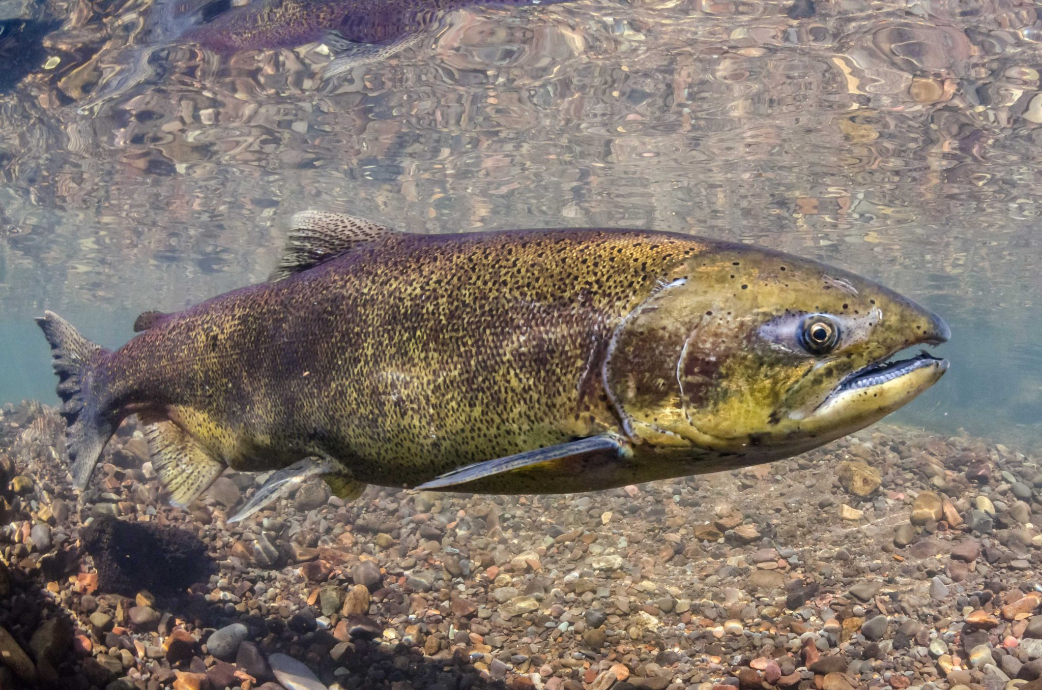 Federal fishing restrictions ignore food and ceremonial priority, say local First Nations