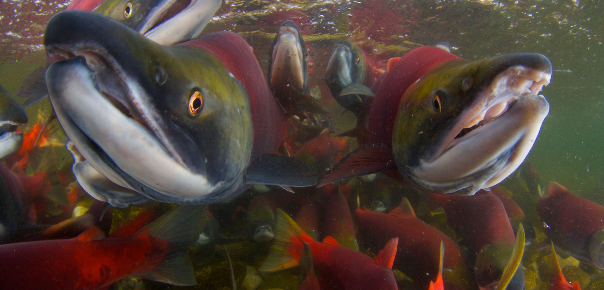 Local First Nations are calling this year's fishing season the worst one in history